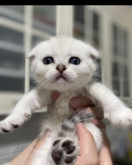 scottish fold ve straight longhair ve shorthair